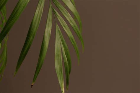 braune spitzen zimmerpflanzen bergpalme bekommt braune spitzen 187 woran liegt s