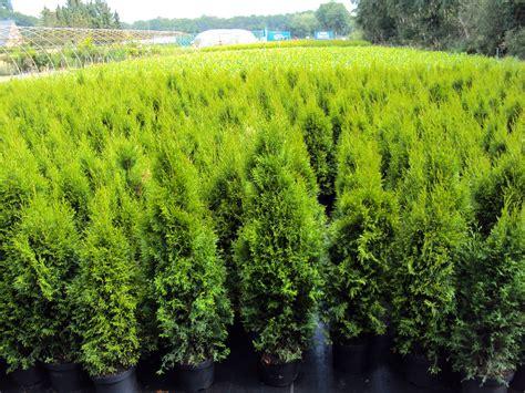 thuja kaufen thuja occ smaragd edelthuja absolut frostharte heckenpflanze ebay