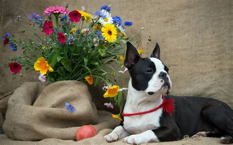 boston terrier wallpapers wallpaper cave