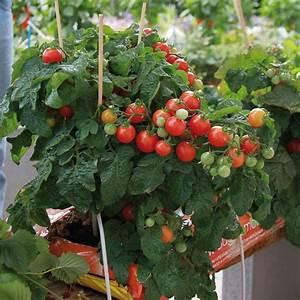 Plant Tomate Cerise : tomate pendulina red type cerise plants potager ~ Melissatoandfro.com Idées de Décoration