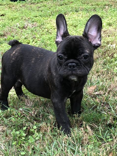 male brindle french bulldog  sale austin french bulldogs