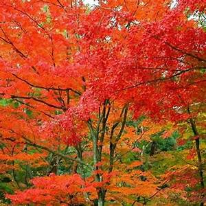 American Red Maple Tree seeds - US$1.89