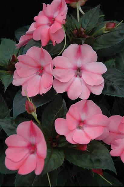 Compact Pink Sunpatiens Blush Login Impatiens Purple