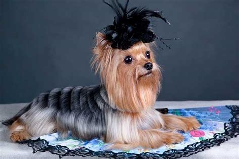 100+ Yorkshire Terrier Hairstyles
