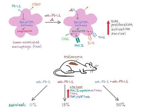 Cancer Immunotherapy The Pd L1 Pathway