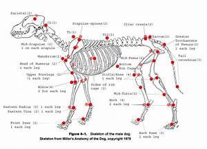 Canine Skeleton Chart