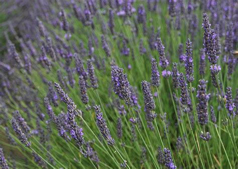 growing lavender 301 moved permanently