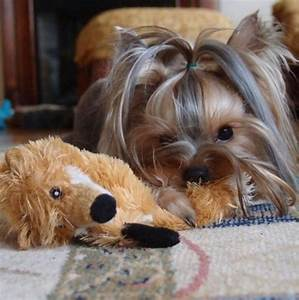358 best images about Yorkshire Terriers on Pinterest