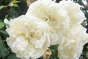 Rosier Grimpant Blanc : roseraie ducher rosier grimpant alb ric barbier ~ Premium-room.com Idées de Décoration