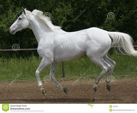 white horse canter stock image image  speed horse