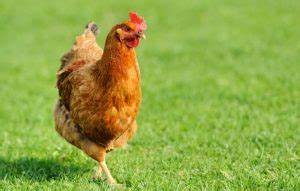 Comment Elever Des Poules : comment lever des poules pondeuses le carrefour des ~ Melissatoandfro.com Idées de Décoration