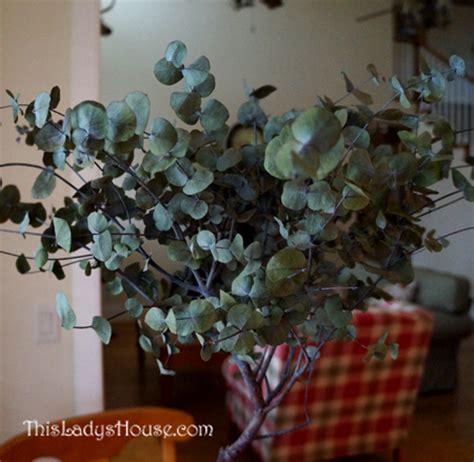 growing eucalyptus indoors eucalyptus tree this lady s house