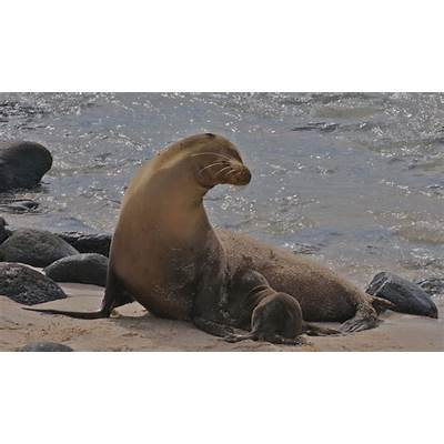 Galapagos Sea Lion - Facts Diet & Habitat Information