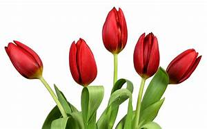 Red Tulips Wallpaper 37012