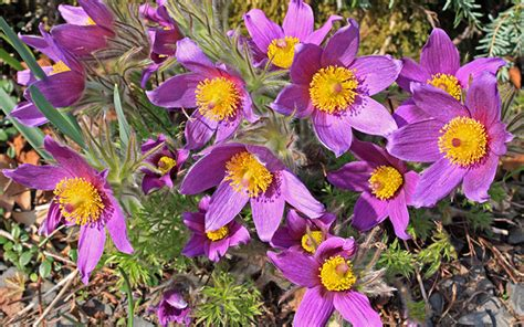 flowers for rockery rockery plants top 10 plants for an alpine rock garden david domoney