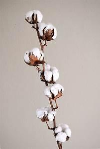 Bouquet Fleur De Coton : cotton flowers branche de fleurs de coton marine r amazing flowers pinterest fleur de ~ Teatrodelosmanantiales.com Idées de Décoration