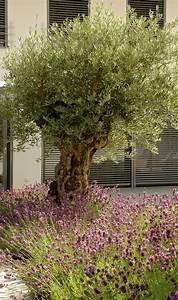 Olivenbaum Im Wohnzimmer überwintern : ber ideen zu olivenbaum auf pinterest olivenbaum pflege apfelbl te und feigenbaum ~ Markanthonyermac.com Haus und Dekorationen