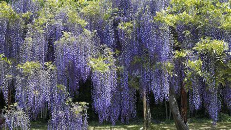 purple vine flowers names hanging vine flower images japan flowers hanging wisteria parks purple flowers vines
