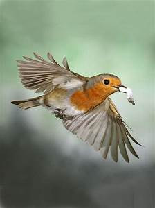 46 best Robin Redbreast images on Pinterest | Robins ...