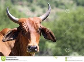 Afrikaner Cattle Breed