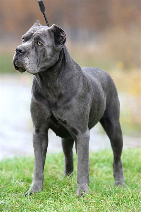 dog cane corso on pinterest cane corso beautiful dogs