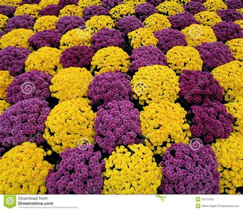 Purple & Yellow Mums Stock Photo Image Of Many, Pattern
