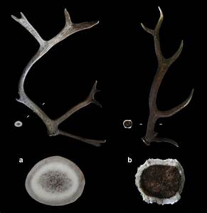 Morphology And Structure Of  A  Reindeer Antler  B  Red