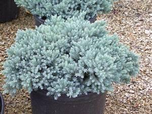 Juniperus Squamata blue star | Žvynuotasis kadagys ...