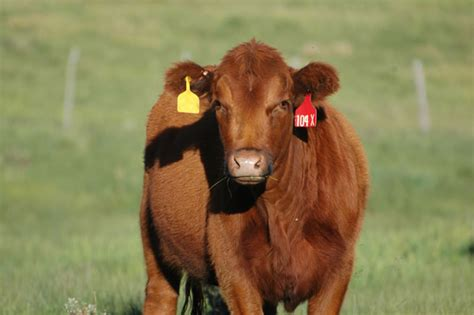 How Much Is A Cowhide Worth by How Much Is A Beef Cow Worth Canada All About Cow Photos