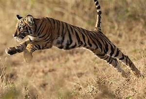 Wild Tiger Photography | Incredible Snaps