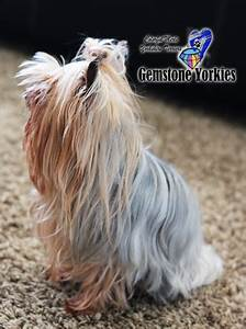 Line Dogs Chart About Different Color Yorkie Coats And Eyes Colorful