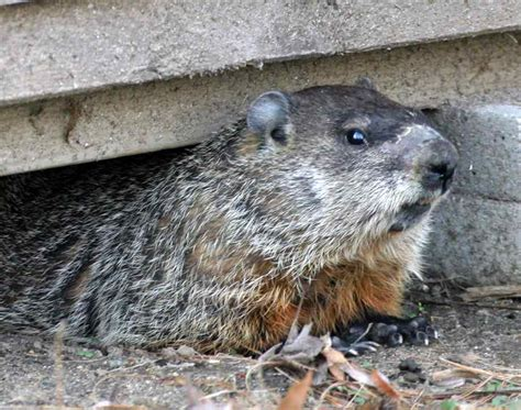 woodchuck groundhog removal trapping control ny ct