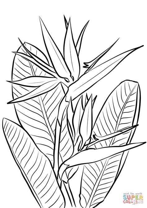 ausmalbild paradiesvogelblume ausmalbilder kostenlos