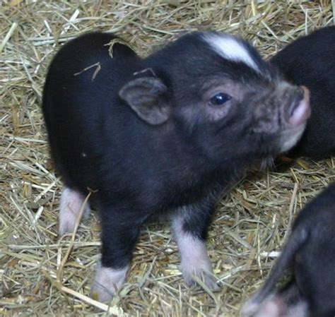 potbelly pig royal dandies the smallest miniature potbellied pigs potbelly pigs potbelly pigs