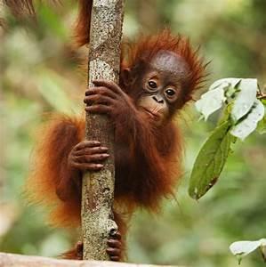 Orangutan | Animal Wildlife