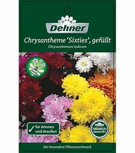 Wie Lange Braucht Eine Rollmatratze Um Sich Zu Entfalten : chrysantheme 39 sixties 39 gef llt dehner ~ Fotosdekora.club Haus und Dekorationen