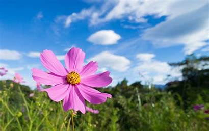 Cosmos Pink Flowers Desktop Definition Wallpapers Widescreen