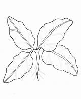 Spinach Coloring Pages Vegetable Sketch Template sketch template