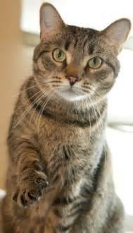 petsmart cats cat adoption center adopt today