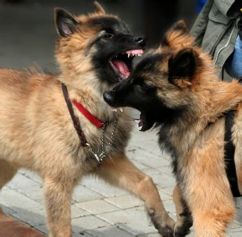 dog aggression   dogs