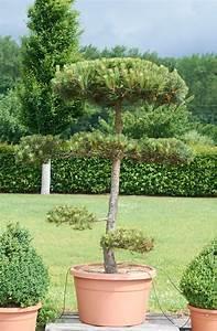 kiefer bonsai pon pon formgeholz pinus sylvestris pon With whirlpool garten mit pinus sylvestris bonsai kaufen