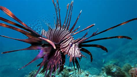 lionfish invades mexico   tale