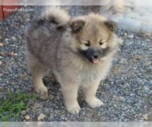 pomimo breed information  pictures  puppyfindercom