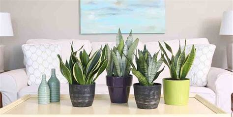 sansevieria  houseplant  dark corners costa farms