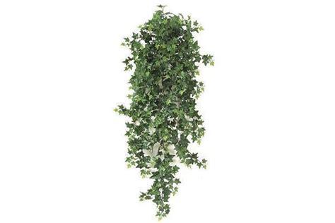 edera coltivazione in vaso edera consigli pratici per una pianta rigogliosa