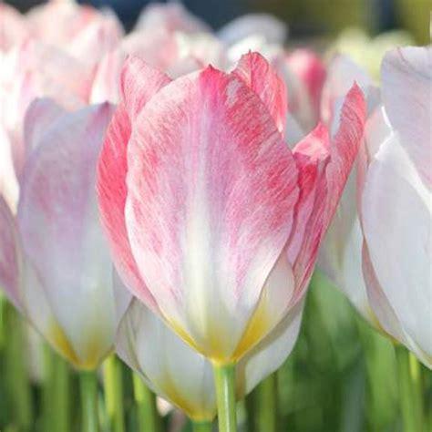 planting tulip bulbs planting tulip bulbs for spring hoosier homemade