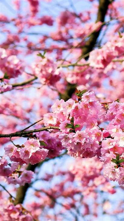 Blossom Cherry Iphone Tree Phone Blossoms Background