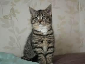 British Shorthair x Maine Coon Kitten (SOLD) Brixham