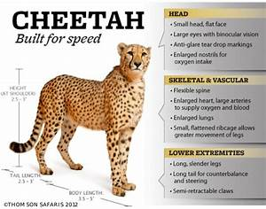 Cheetah  Built For Speed