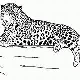 Coloring Animals Animal Realistic Printable Jaguar Outline Teens Grassland Sheets Safari Teenagers Clipart Drawing Adults Lion Colorings Wildlife Getdrawings Popular sketch template